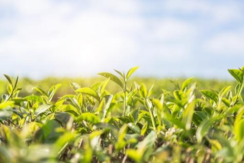 Oolong roste na velkých plantážích